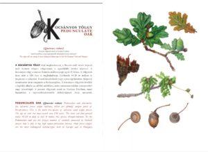 oakeylife-kiadvány-kulcs-fajok-2021-festmények-peszéri-erdő-kocsányos-tölgy